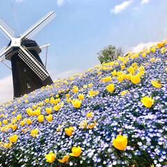 はじめてフォト投稿コンテスト/花/風車/ネモフィラ/チューリップ/青/... 大好きなお花を見に行きました!