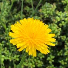 たんぽぽ/黄色/はじめてフォト投稿 工場の脇を見たらたんぽぽが綺麗に咲いてい…