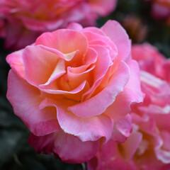 花/ばら/バラ/バラ園/おでかけワンショット しっとり咲く薔薇の花。間近で見るのははじ…