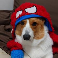 コーギー/ウェルッシュコーギー/愛犬/家族/犬/かわいい/...