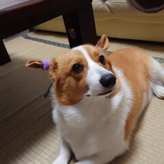 コーギー/愛犬/犬/家族/かわいい/うちの子自慢 男の子だけど女の子にしちゃいました(^o…