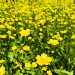 夏/花/花畑/はじめてフォト投稿/黄色のじゅうたん 迎夏  小さい花ですが、1本1本が堂々と…