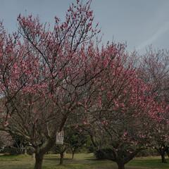 ピンク 梅の花