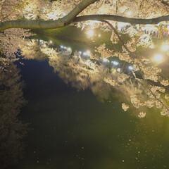 桜/夜桜/東北/弘前城/弘前/ライトアップ/... 綺麗なのはそこにある桜か 水面にうつる桜…