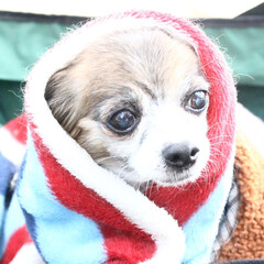 チワワ/おばあちゃん/寒い/苦手/可愛い/癒し/... おばあちゃん犬だから、寒いの苦手!だけど…