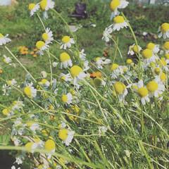 カモマイル/ハーブ/令和元年/開花/ハーブティー/いただきます/... 私の畑のカモマイル!令和に花を咲かせた記…
