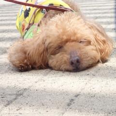 トイプードル/日向ぼっこ/ポカポカ/プードル/犬/うちの子自慢 お散歩中の日向ぼっこ。きもちいいなぁ〜!