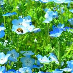 ポピー/ネモフィラ/ハチ/お花畑/春/夏/... お花畑に降り立った働き者