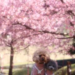トイプードル/河津桜/ピンク ひと足早い花見