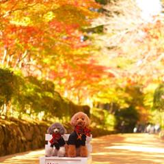 トイプードル/犬派/紅葉/高野山 先日、高野山へ紅葉を見に行ってきました …