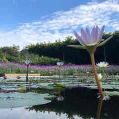 初めてフォト投稿/はじめてフォト投稿 水面に浮かぶ花って綺麗ですよね!