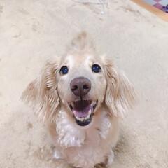 ミニチュアダックス/うちのわんこ/スマイル/犬好き 猫ちゃんもかわいいけど、やっぱり犬派です…