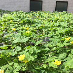 ゴーヤ/家庭菜園/上から撮ってみた/花がいっぱい ゴーヤの花畑🌼