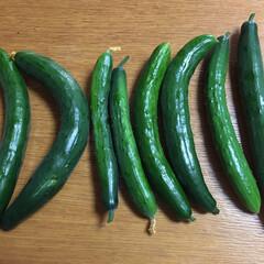 夏野菜/キューリ/家庭菜園/豊作/はらぺこグルメ 今日の朝採り🥒 蚊の攻撃にあいながら8本…