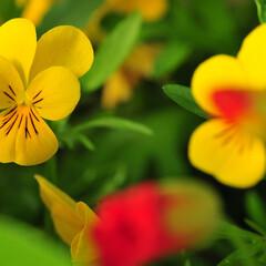 花/黄色/ビオラ ビオラを撮影しました。 黄色の花は写真映…