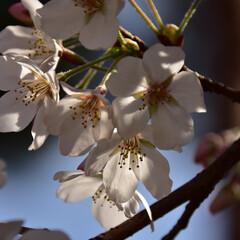 桜/公園/大宮公園 大宮公園の桜です。