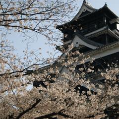 桜/城/熊本/熊本城 10年前に九州旅行へ行った時の写真です。…