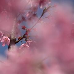 桜/公園/大宮公園 桜を見に大宮公園へ行ってきました。 地元…