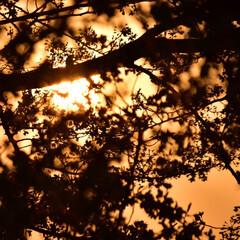 夕日/桜 以前に投稿した夕日+桜の構図を変えた写真…