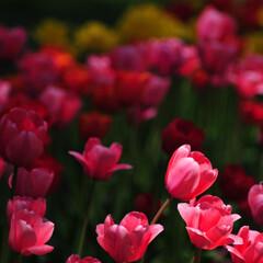 チューリップ チューリップです。 春の花のいい季節で色…