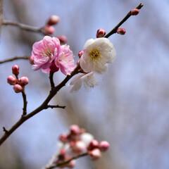 梅/白/花/ピンク 梅の花ですが、同じ木に白とピンクの花が咲…