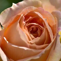 バラ 上のほうに十字に光るところが気に入ってい…(1枚目)