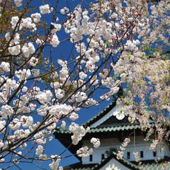 桜/弘前城 以前に行った弘前城です。 行ったときは、…