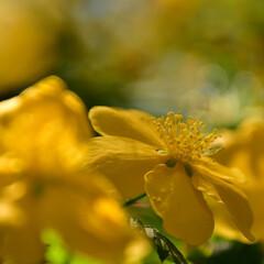 黄色/花/山吹/ヤマブキ 近所の公園のヤマブキです。