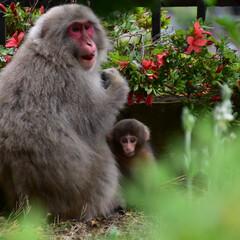 猿/サル/親子 去年に山形の山寺で野生サルの親子に遭遇し…