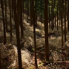 ミツマタ/栃木県/群生地 ミツマタ群生地です。 物凄く咲いていて圧…