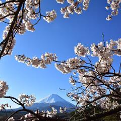 桜/富士山 富士山と桜です。 桜の間に富士山を入れて…