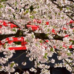 桜/弘前城/青森/弘前 去年の弘前城の桜です。 今年は、写真で我…