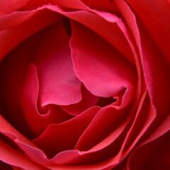ばら バラといったら赤いバラでどアップですよね