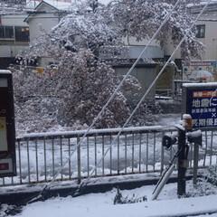 桜/雪 駅前の満開だった桜の木が雪の重さで折れて…
