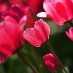 #はじめてフォト投稿/チューリップ/花/はじめてフォト投稿 チューリップが咲き乱れてました