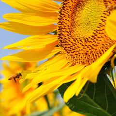 花/ひまわり 働き者のミツバチです。 (1枚目)