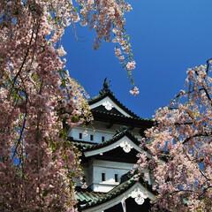 桜/弘前城/城 こちらも弘前城です。 八重桜が満開でした…