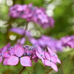 アジサイ/紫陽花/あじさい 近所のあじさい公園に散歩に行ってきました…