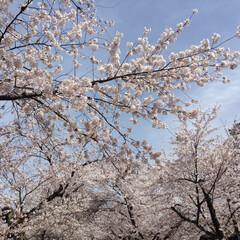 #はじめてフォト投稿/桜/福島/城/はじめてフォト投稿 会津若松城の桜です。 満開の時期に行けま…