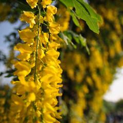 藤/足利フラワーパーク 黄色の藤の花です。 ここで初めて見ました…