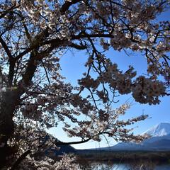 桜/富士山 富士山+桜+太陽を一緒に撮影してみたもの…