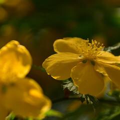 黄色/花/ヤマブキ/山吹 近所の公園内に咲いていたヤマブキの花です…