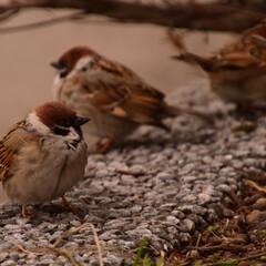 雀/鳥 福良雀です。 丸々してて可愛いです!(1枚目)