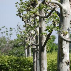 シラカバ/自然/おでかけワンショット 一列に並んだ存在感のあるシラカバの木