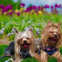犬/ヨークシャーテリア/ヨーキー/笑顔/お花畑/チューリップ/... お散歩をしに公園に行った時の写真です。お…