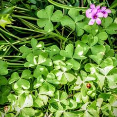 花/てんとう虫/草/自然/クローバー/緑/... 花とクローバーとてんとう虫