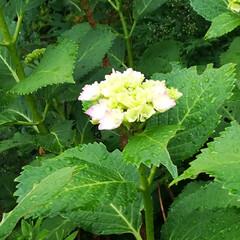 おでかけワンショット/紫陽花/初夏/緑/朝露 早朝のおでかけワンショット。 朝露に濡れ…