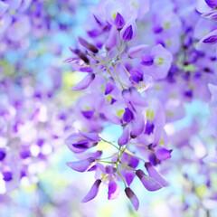 藤の花/ボケフォト/紫/奥行きのある写真/さわやか感/藤棚/... 風の強い日の撮影で、揺れる藤の花を止める…
