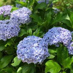 高知/牧野植物園/紫陽花/花/おでかけ/おでかけワンショット 高知市の牧野植物園