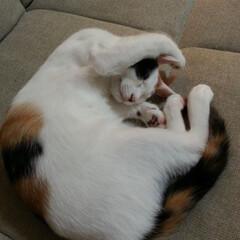 うちの子自慢/ねこ/猫/ネコ/三毛猫/ミケ/... ごめんにゃさい と謝るように ぐっすりお…